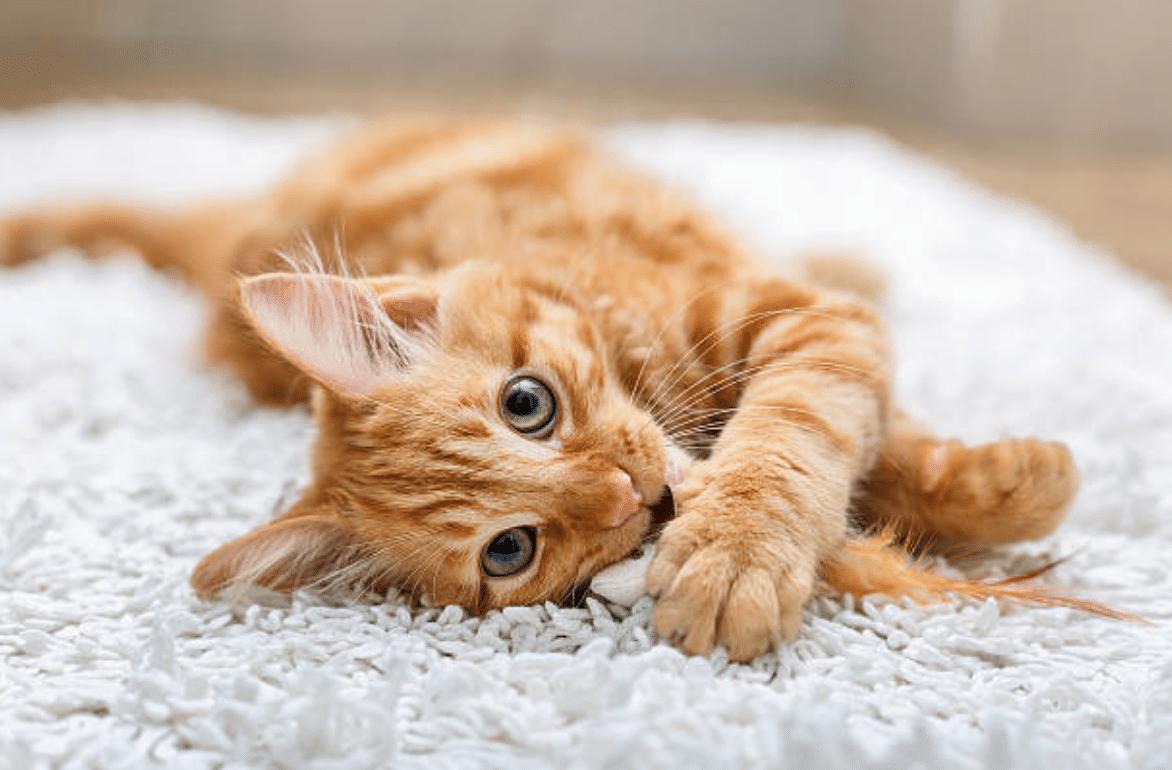 chat roux couché joue