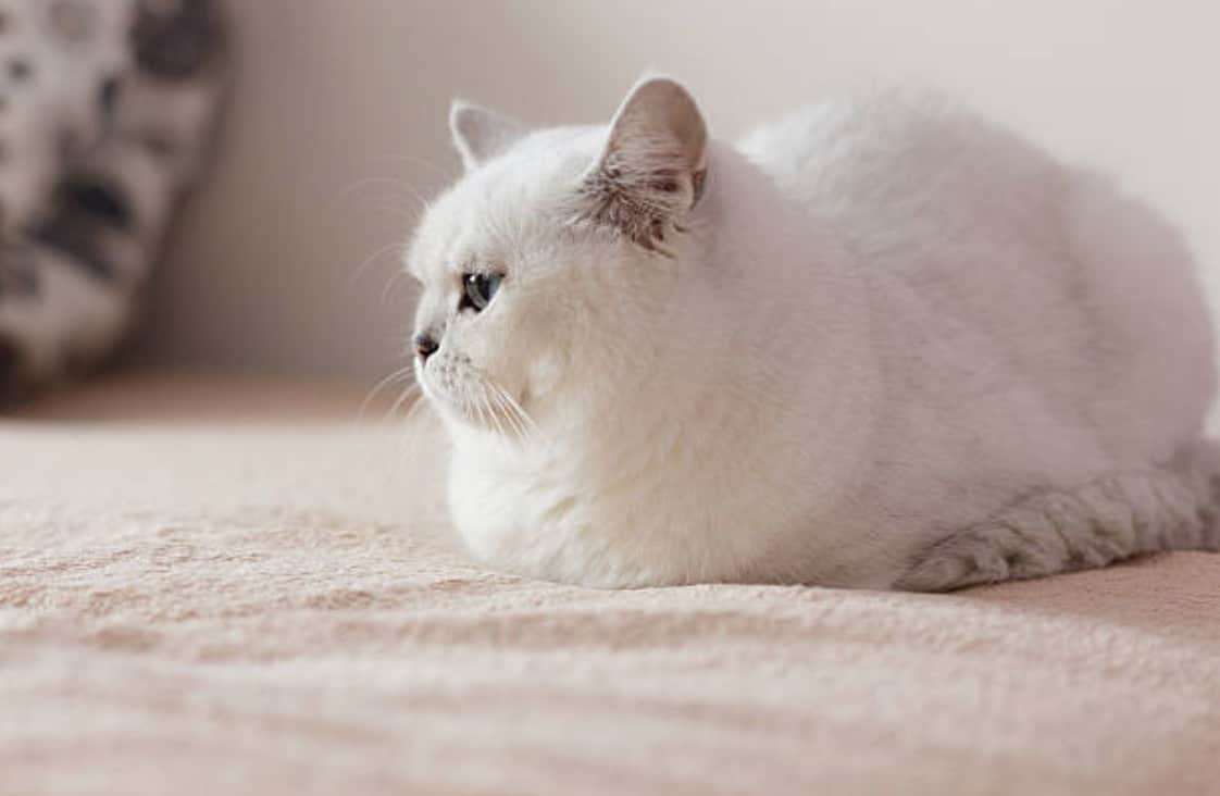 chat couché blanc