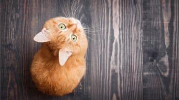 chaton roux assis