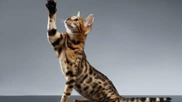 chat bengal joue