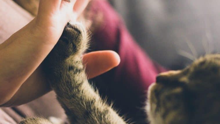chaton main humain