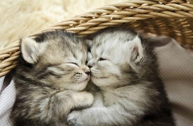 chatons dorment panier couchés