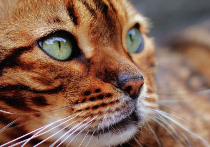 chat bengal portrait