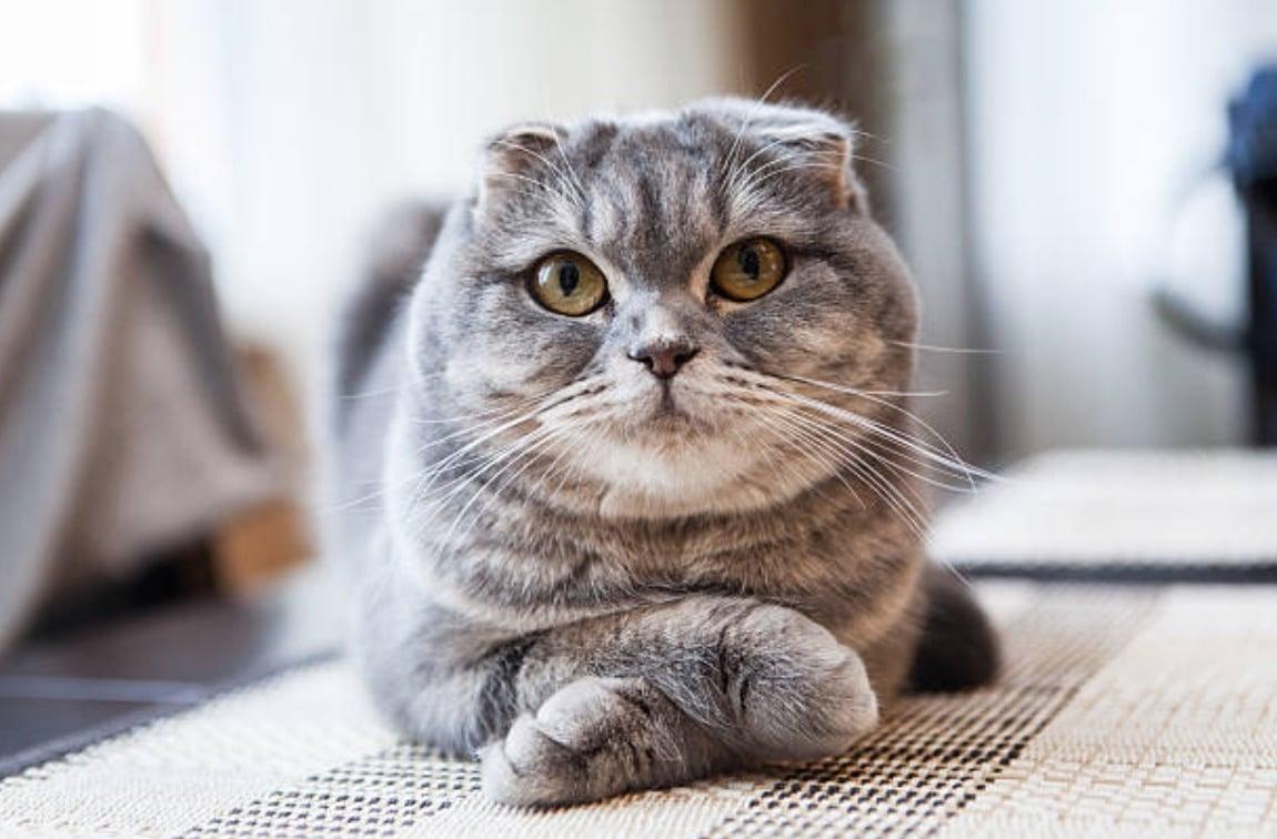 chat scootish fold couché pattes croisées