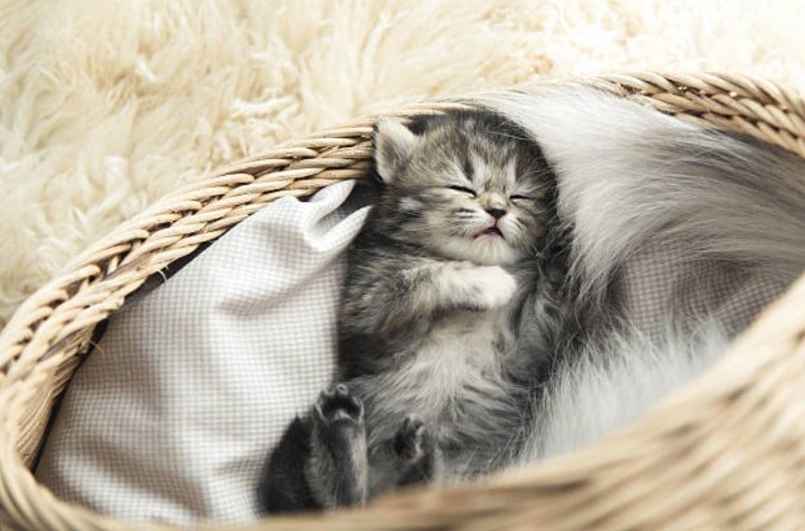 chaton couché dort panier