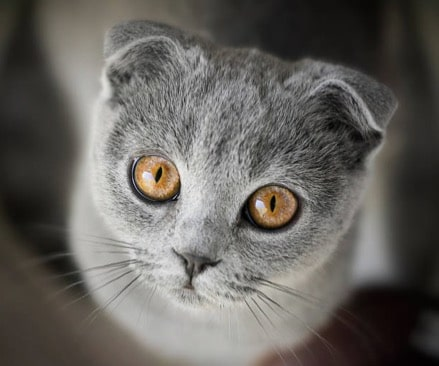 chat scottish fold