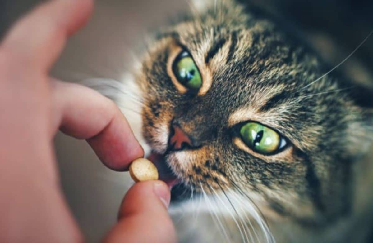 chat comprimé médicament