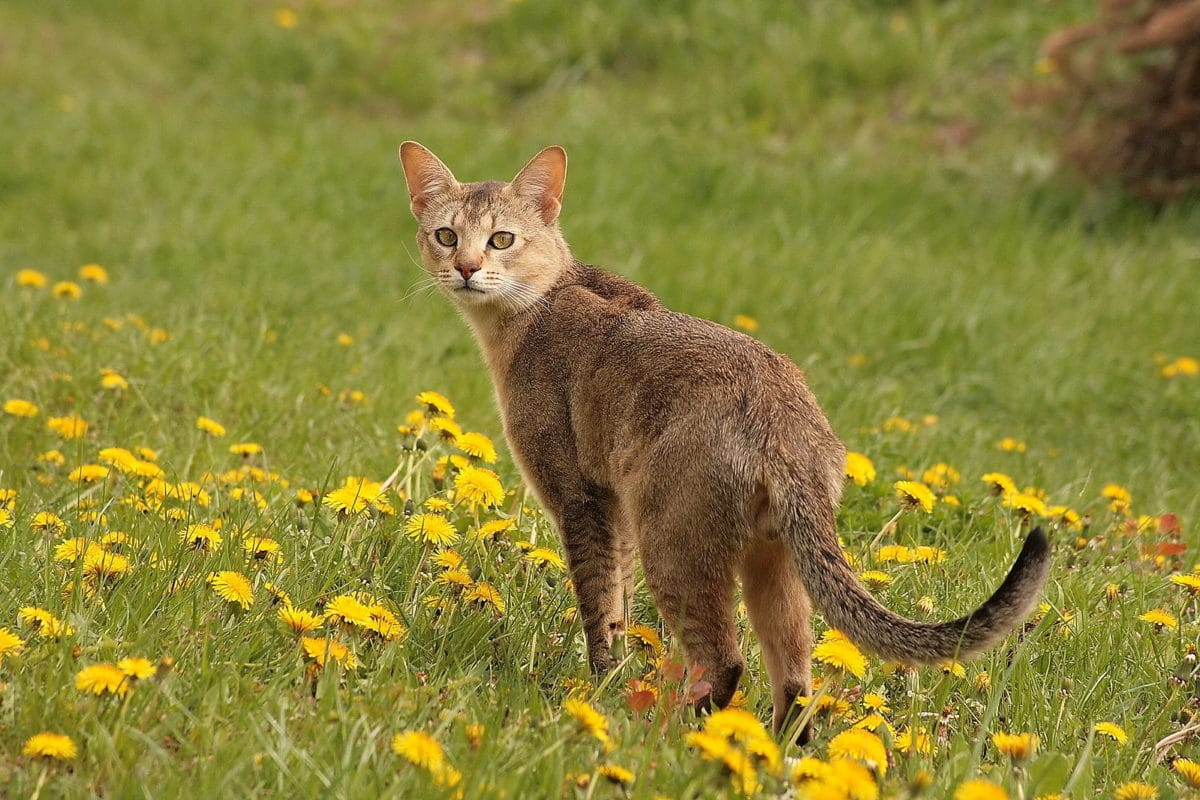 chat chausie herbe