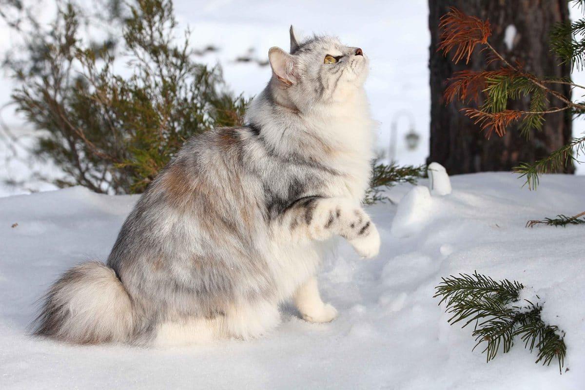 chat bobtail des kouriles kurilian neige hiver