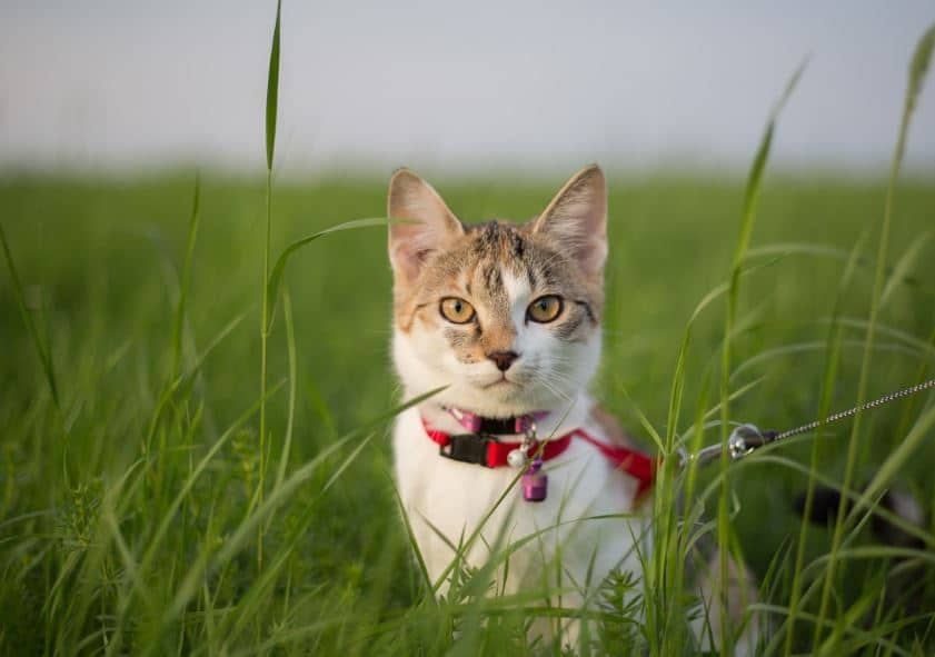 chat laisse harnais herbe