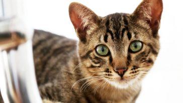 chat tigré yeux verts