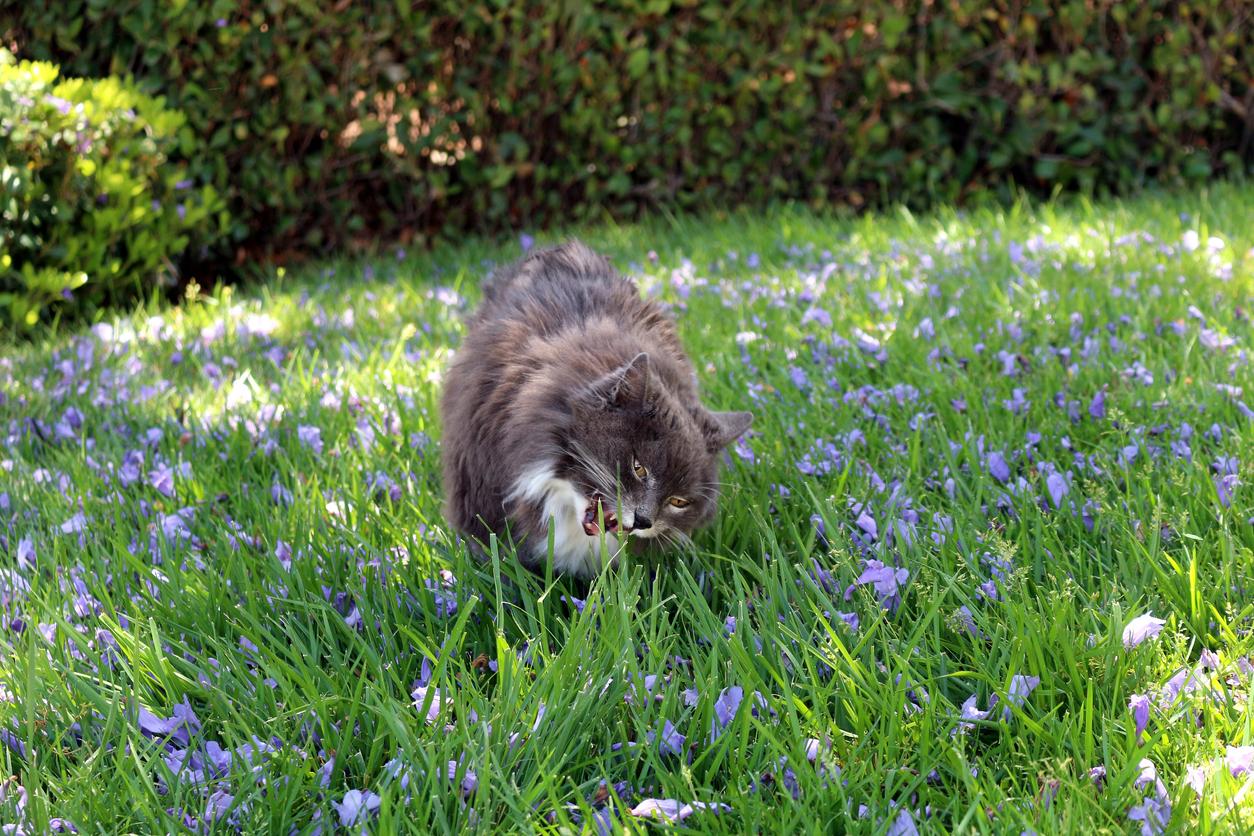 chat mange herbe