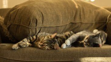 deux chats dormir canapé