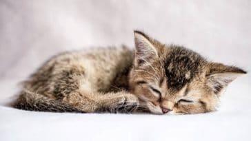 chaton dort couché
