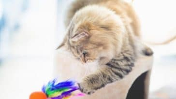 chat joue jeu jouet