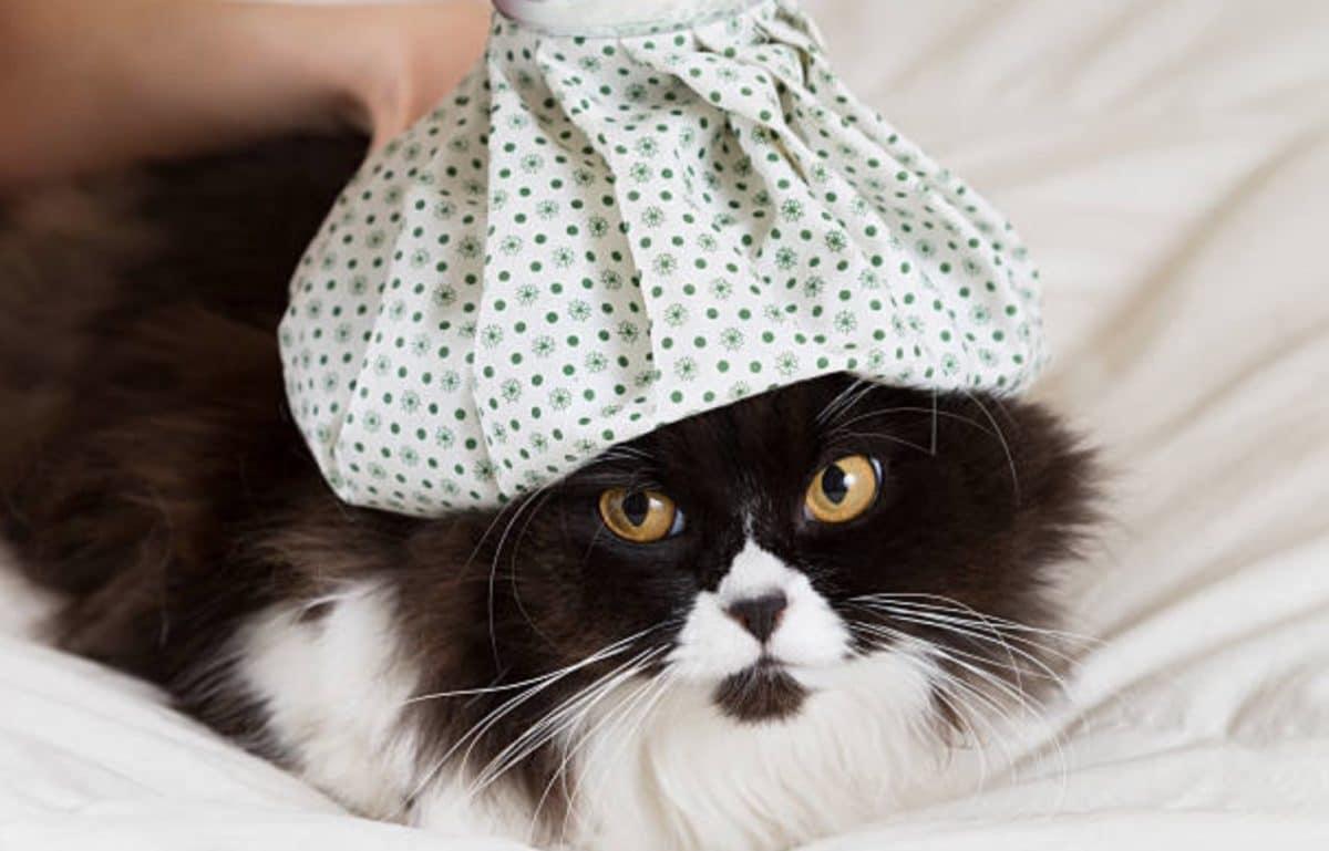 chat couché fièvre