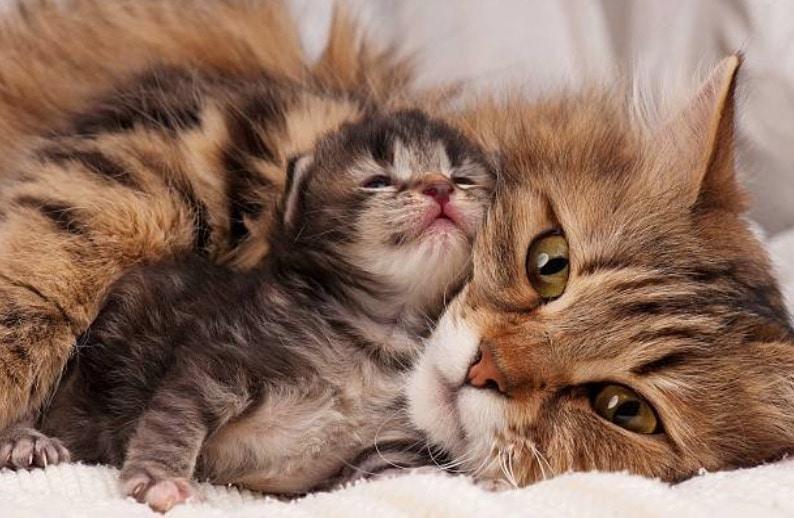 chaton chatte