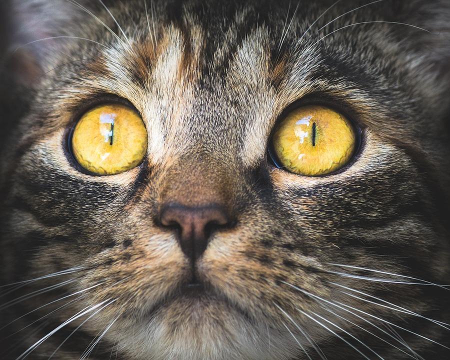chat yeux portrait