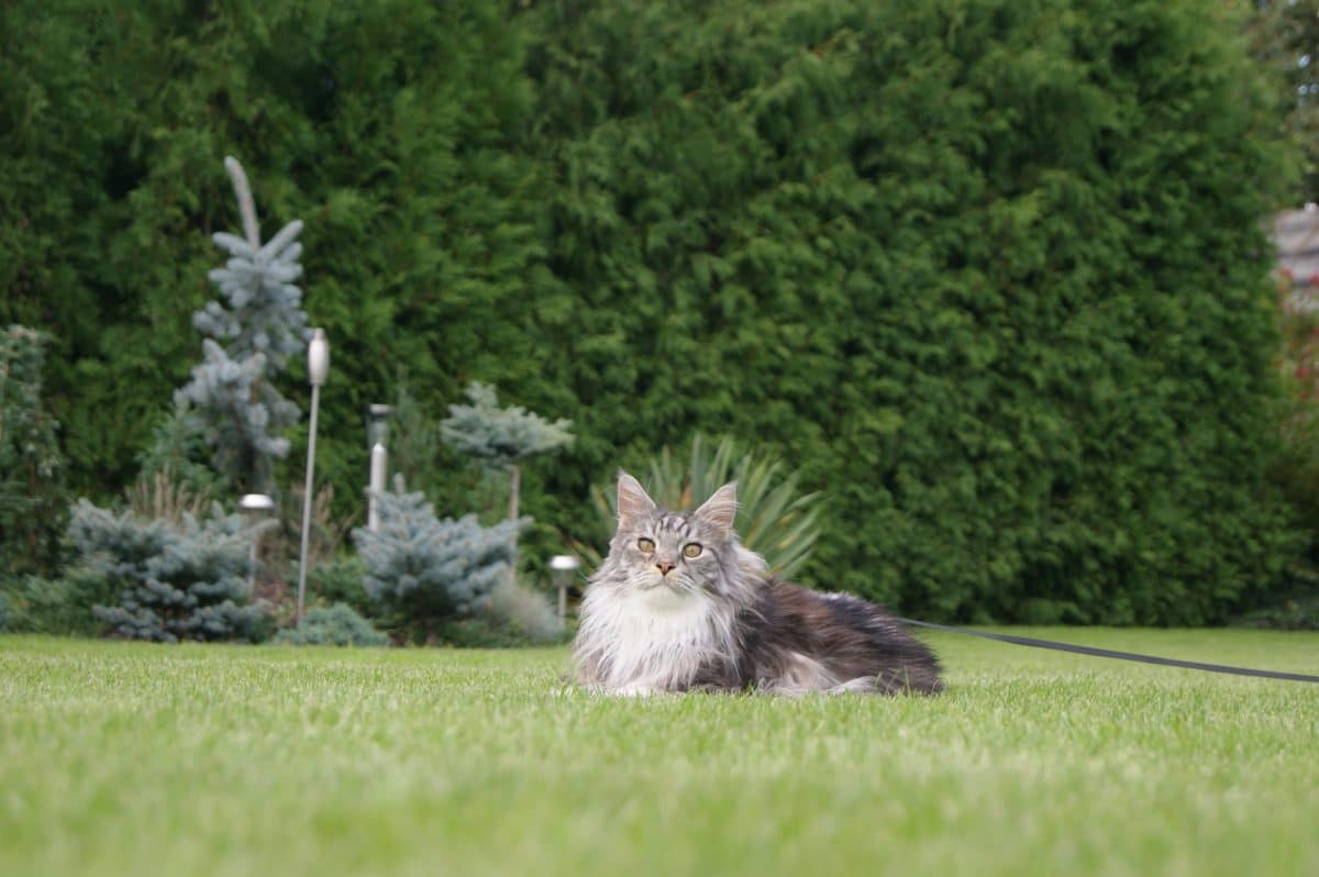 chat maine coon couché herbe