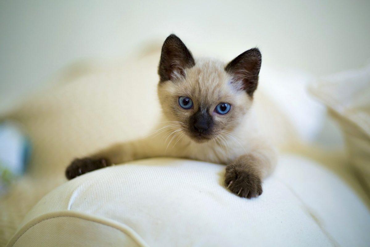 chaton siamois couché
