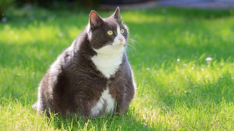 chat gros