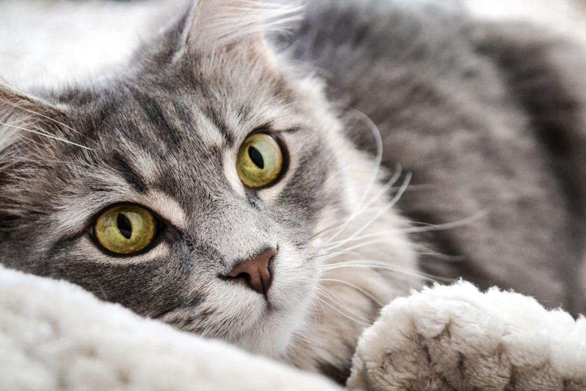 chat gris couché portrait
