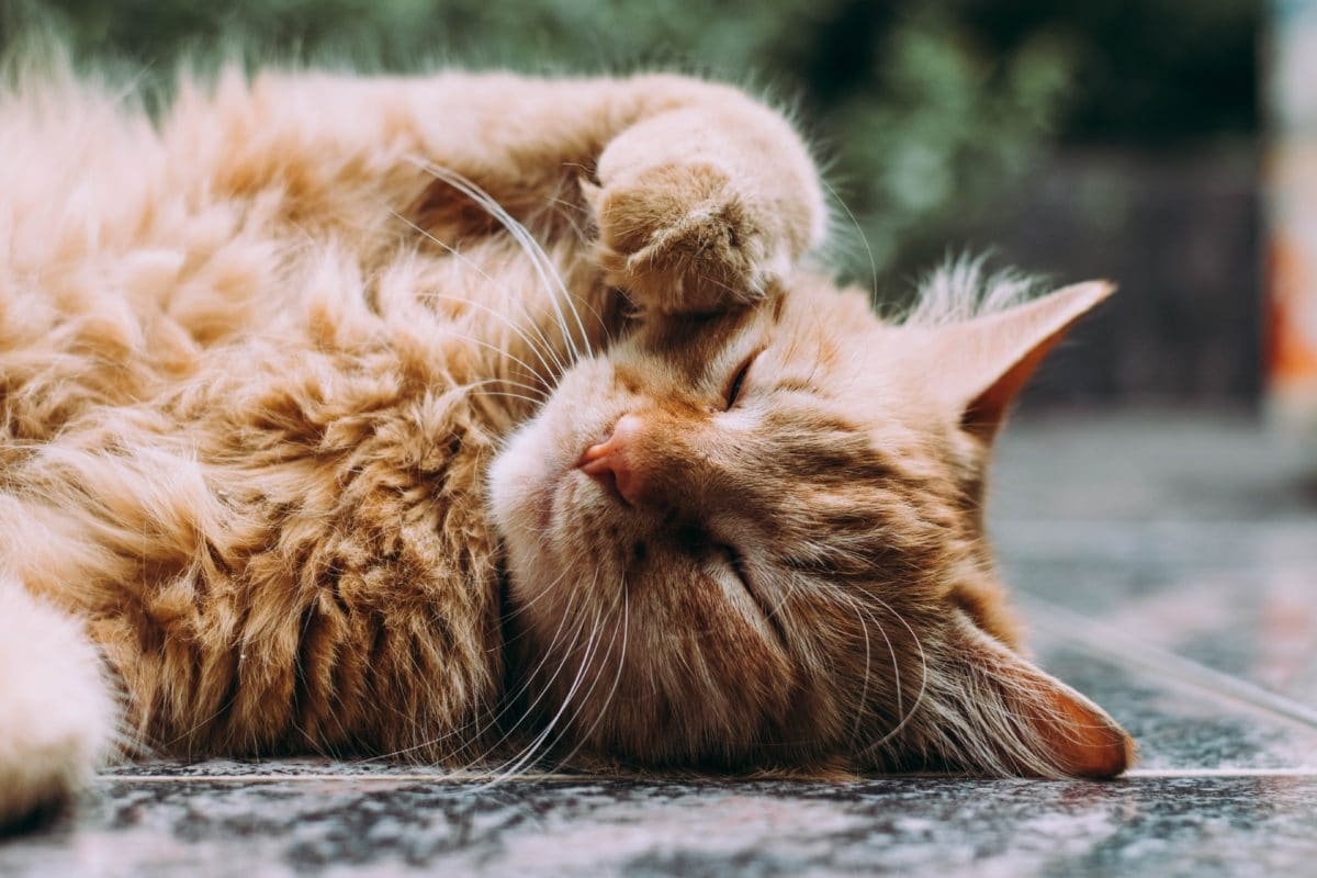 chat roux couché dehors