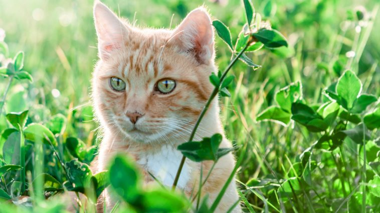 chat roux herbe soleil
