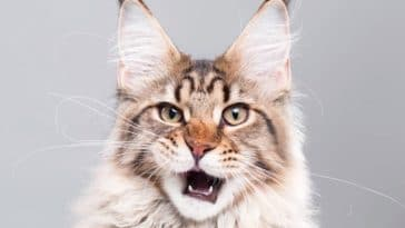 chat maine coon miaule