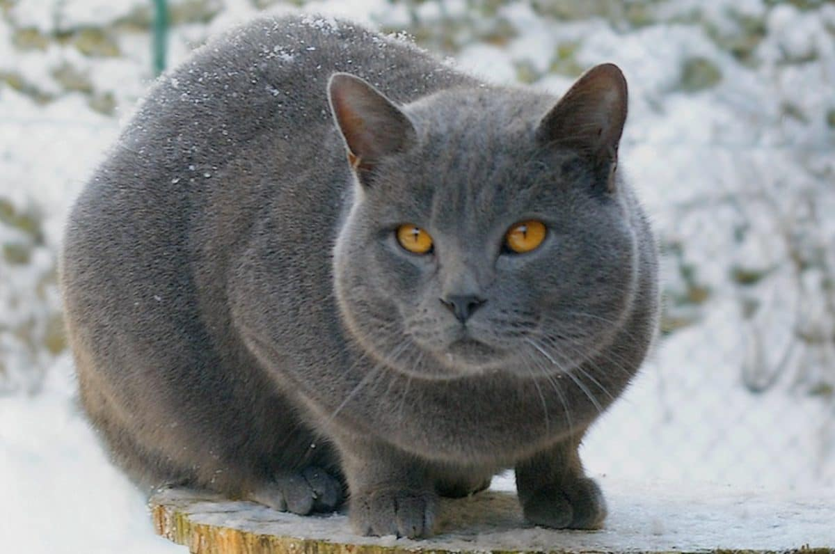 chat chartreux neige hiver