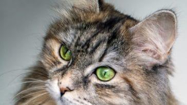 chat sibérien portrait