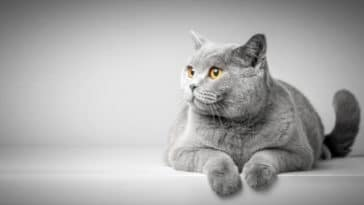 chat british shorthair couché