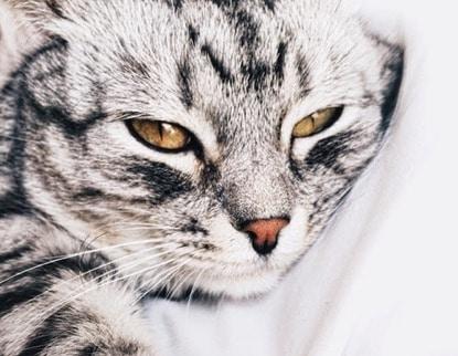 chat couché tigré portrait