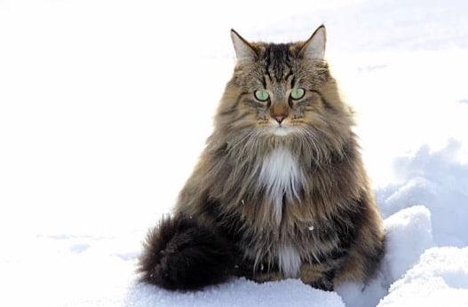 chat norvégien neige hiver