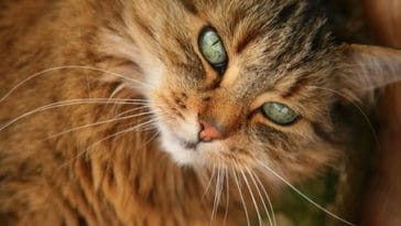 chat norvegien portrait