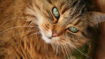 chat norvegien portrait
