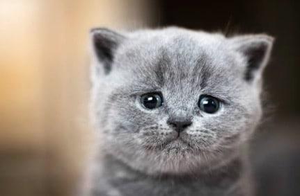 chaton gris triste