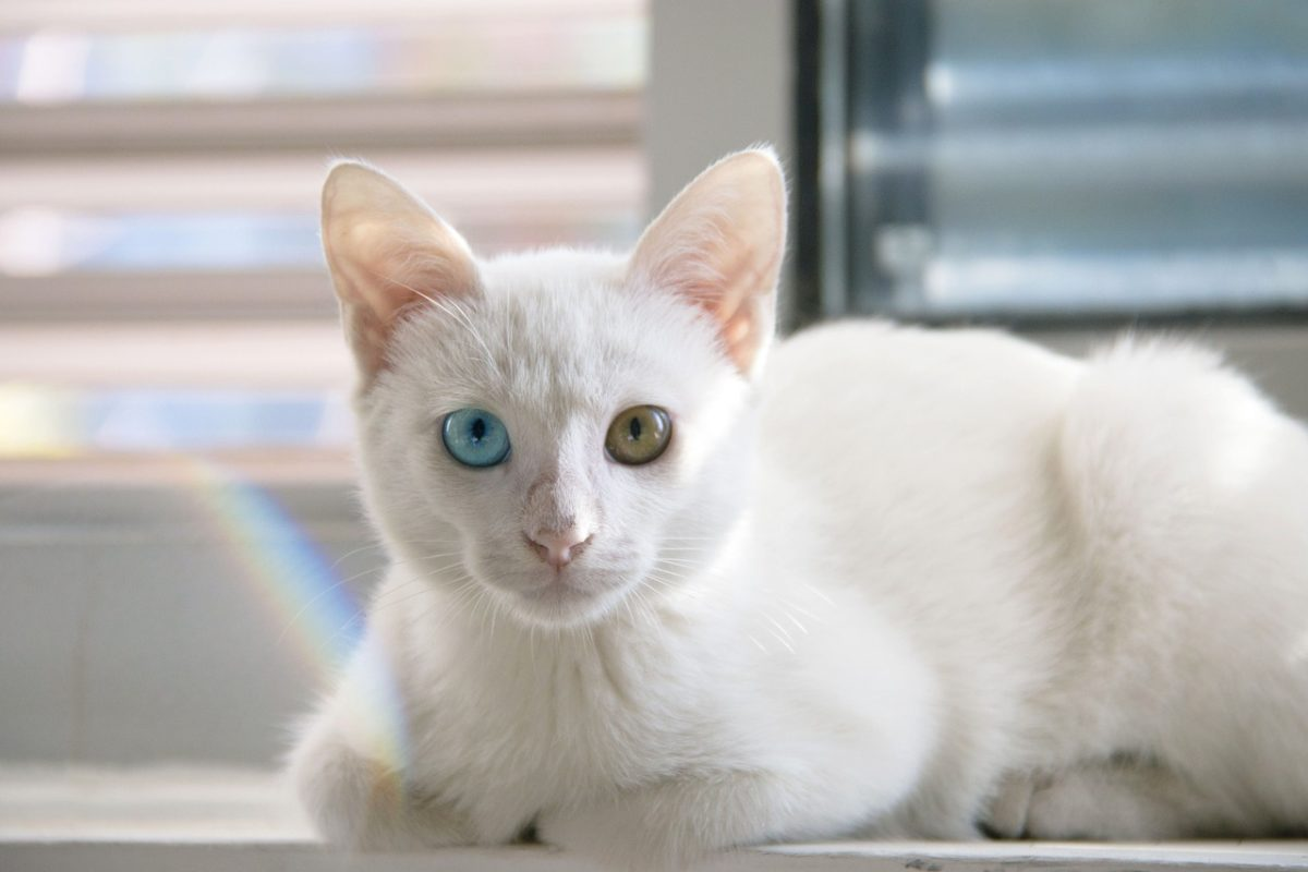 chat blanc yeux vairons