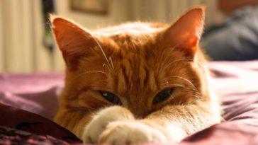 chat roux couché