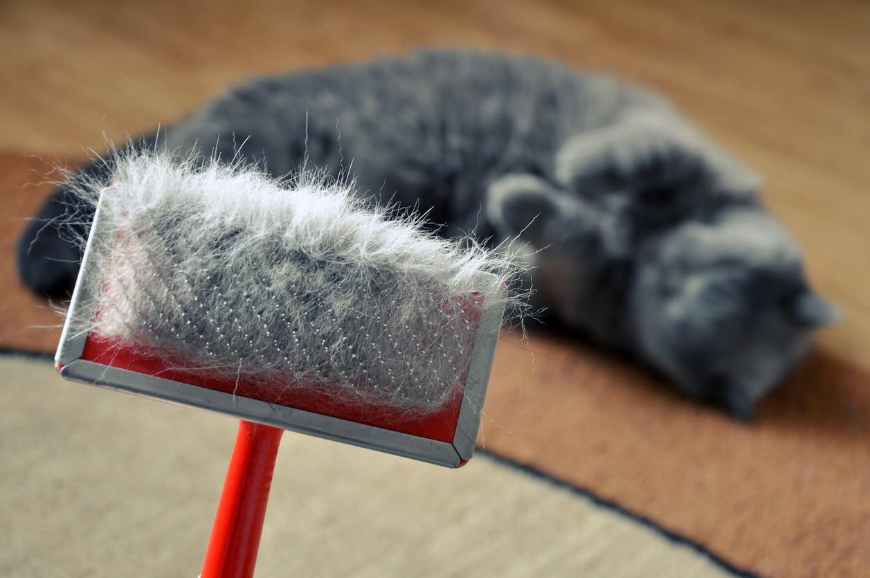 chat perd ses poils