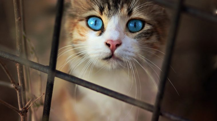 chat regad yeux bleus triste