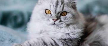 chat couché regard