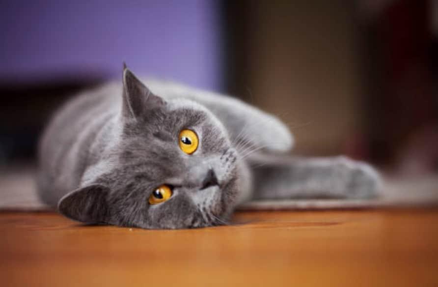chat gris couché