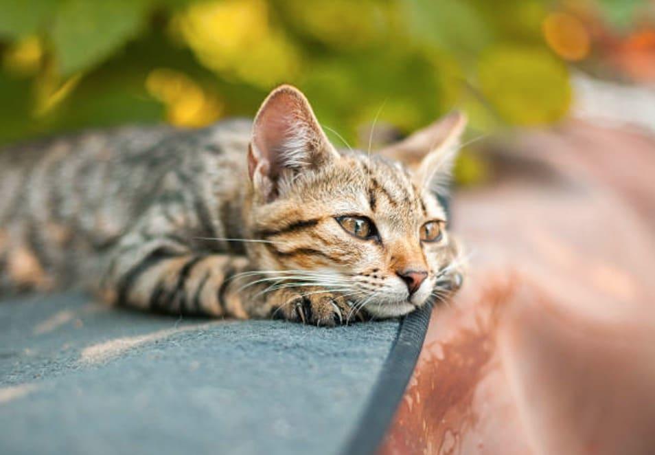chat couché triste