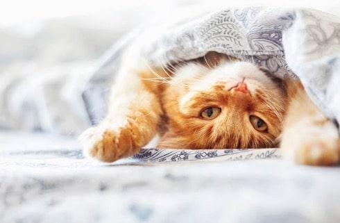 chat roux couché lit