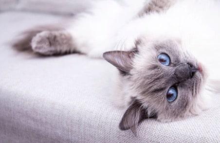 chat couché canapé yeux bleus