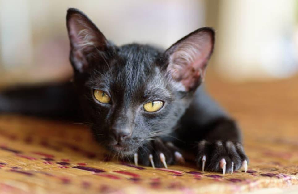 chat noir couché tapis griffes regard