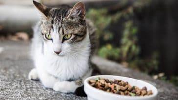 chat gamelle croquettes mange