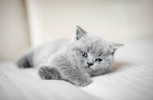 chaton gris couché