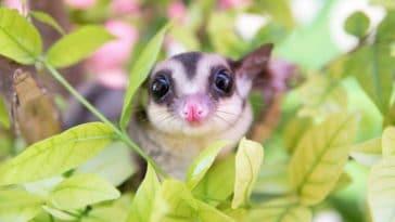 bébé phalanger volant opossum